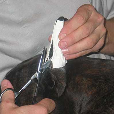 Как снять швы с ушей у собаки